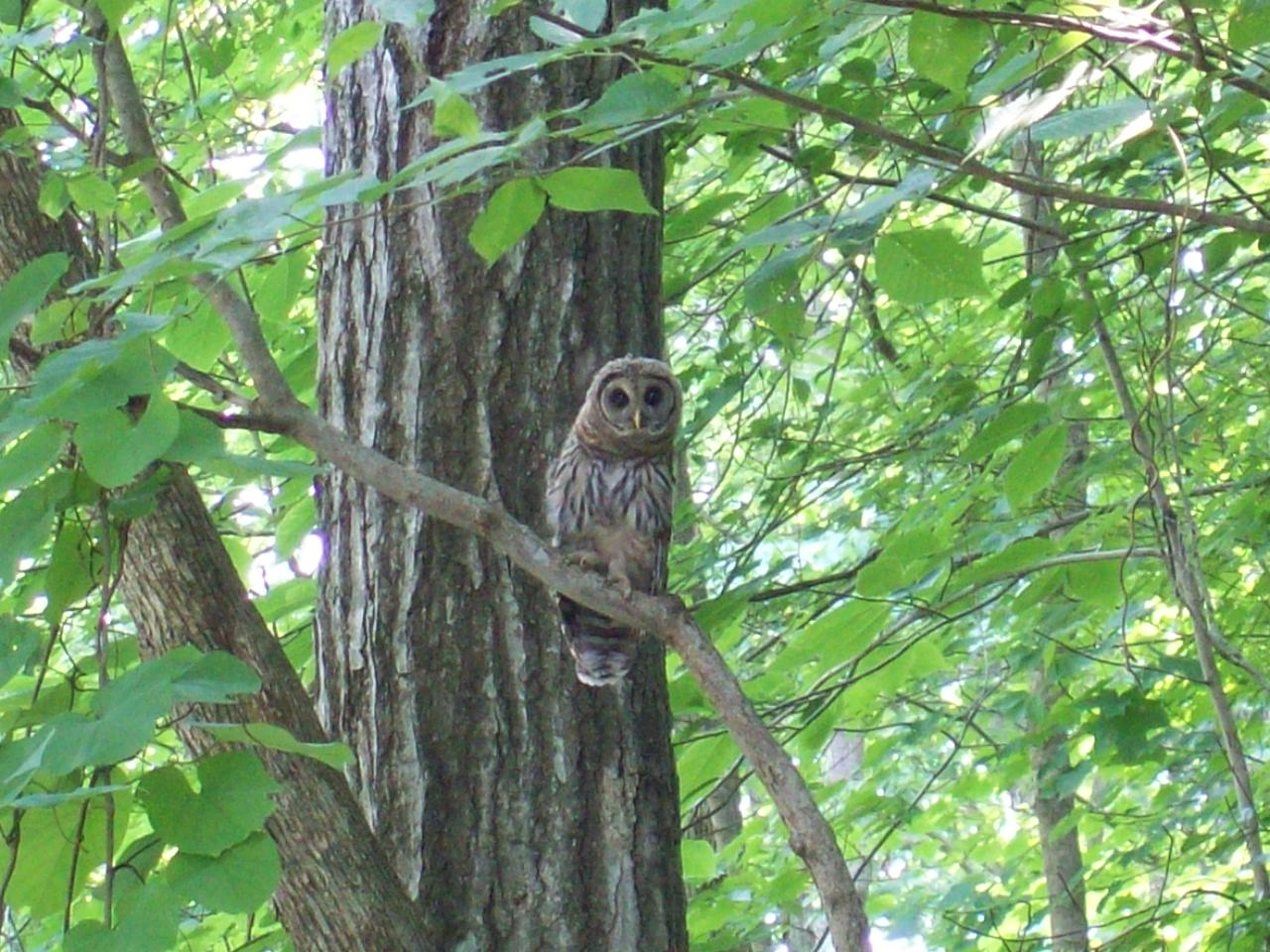 Owl in a tree at Cheatham Lake