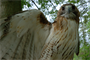 This is a rescued red tailed hawk that cannot fly and is being cared for by rangers with Tennessee State Parks. Students at West Cheatham Elementary School were able to see the hawk May 2, 2013 during Environmental Awareness Day at Cheatham Lake in Ashland City, Tenn.