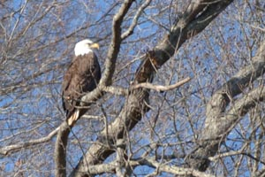 Eagle at Dale Hollow Lake