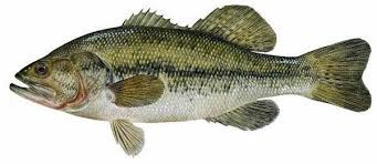 Image of a Black Bass