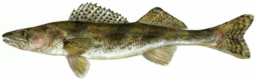 Image of a Sauger