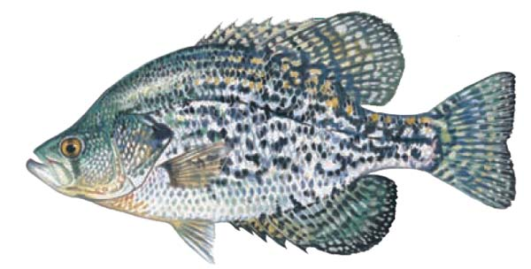 Image of a Black Crappie