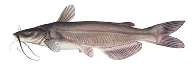 Image of a Channel Catfish