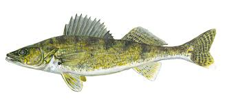 Image of a Walleye