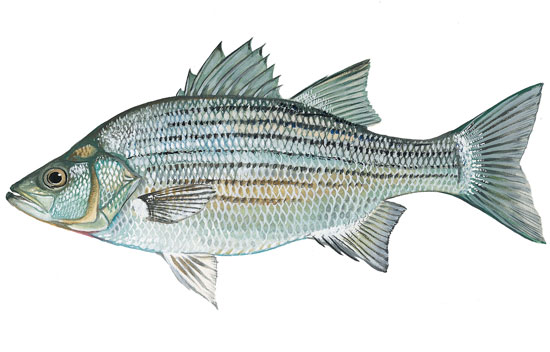 Image of a White Bass